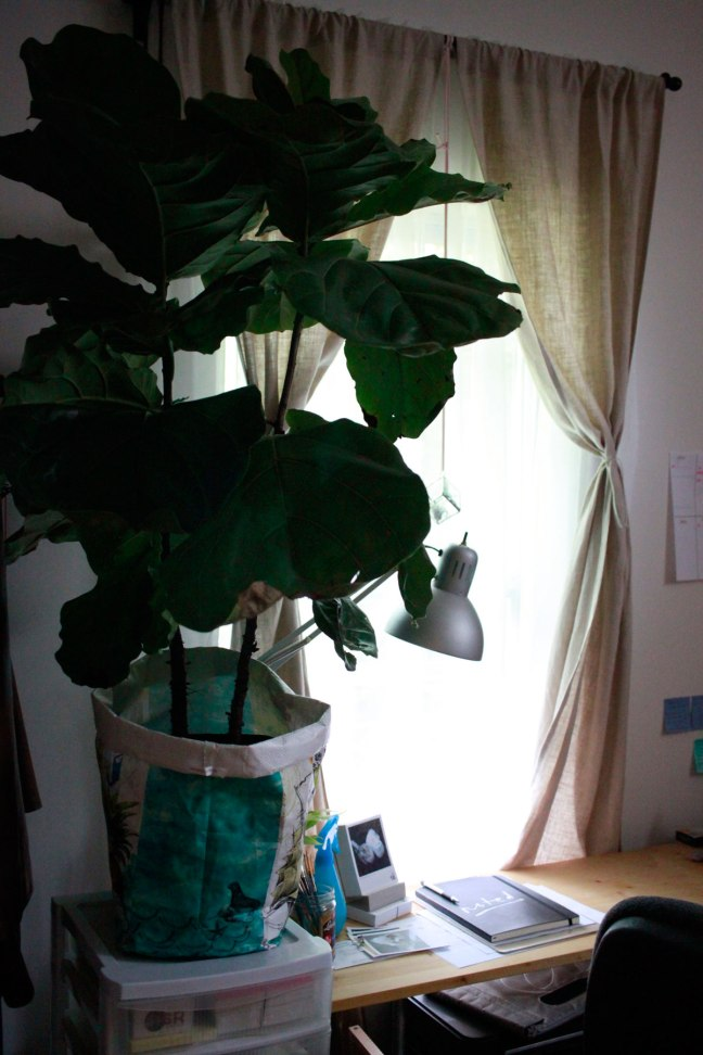 ManamiDesign_Fiddle-leaf-fig-large