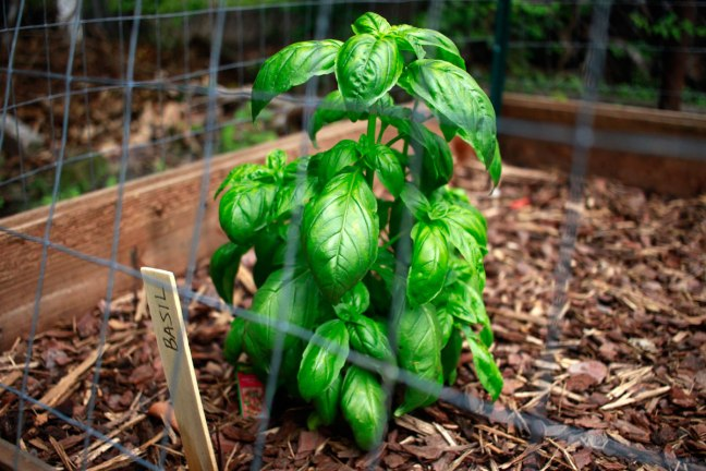 ManamiDesign_growing_basil_in-Texas